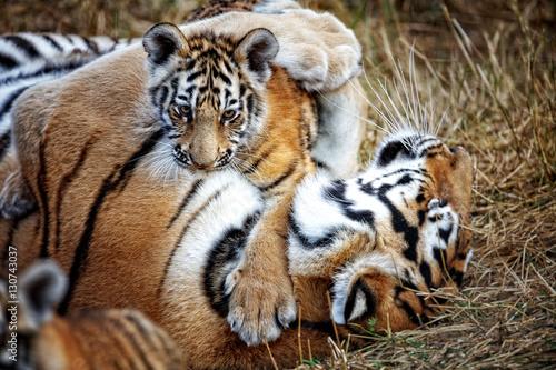 Tigress with cub tiger mother and her cub photo libre - Images tigres gratuites ...