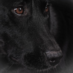 Fotobehang Panter black dog (164) labrador mixed breed