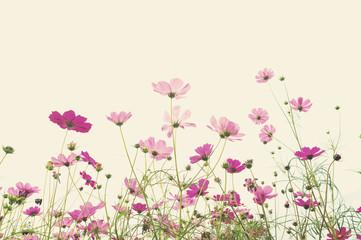 Soft focus cosmos flower background