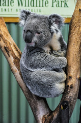 Watching koala in Featherdale Wildlife Park, Australia
