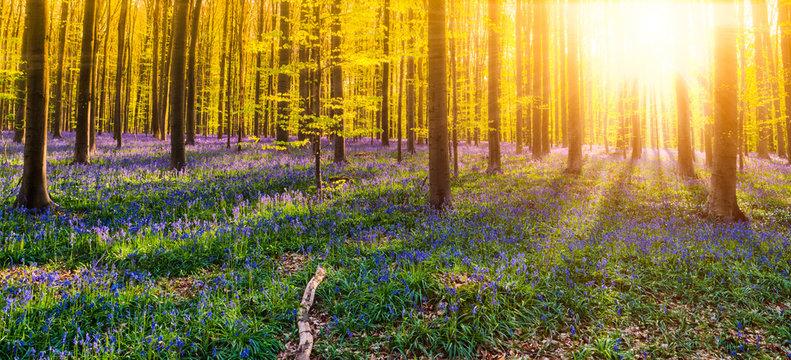 Hallerbos Wald