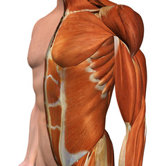 Male Chest Muscle Model with Cut-Away Skin Layer