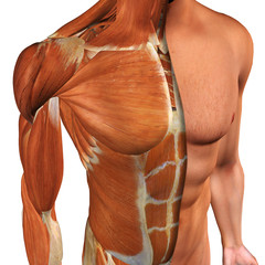 Male Chest Muscles Top View with Cut-Away Skin Layer