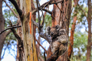 Koala mother and baby on the Great Ocean Road, Australia