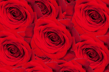 Background of red roses. Over view of large red roses for special occasions. Bed of Red Roses with Vignette.