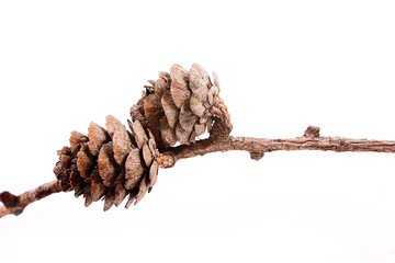 Decorative brown twig with cone isolated on a white background Fototapete