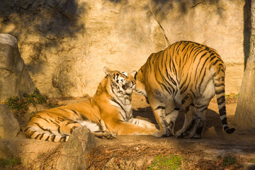 Two tigers showing affection.Tiger's couple. Love in nature.