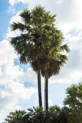 The palm trees with blue sky and cloud background