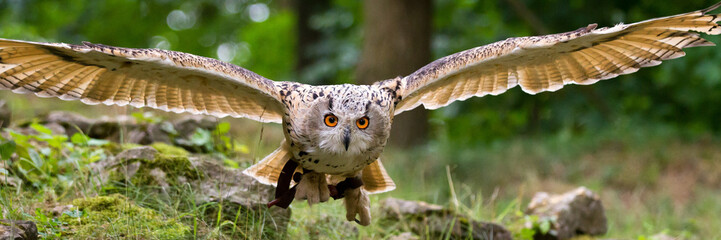 Fotobehang Uil flying eagle owl