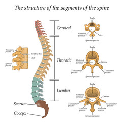 Diagram of a human spine with the name and description of all sections and segments of the vertebrae. Vector illustration.