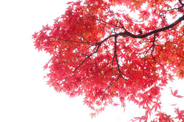 Japanese Red Autumn maple tree leaves (Acer palmatum) Isolated o