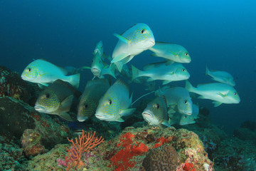 Fish school on coral reef