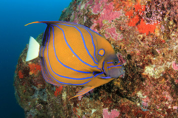 Ring Angelfish fish