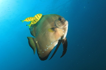 Batfish (spadefish) and pilot fish