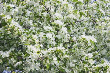 Blossoming apple tree