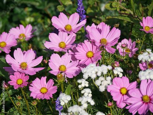 Rosafarbene Cosmeen im Blumenbeet zwischen anderen blauen und weißen ...