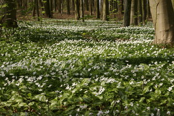 Growth colony of Anemone in the spring woods 5
