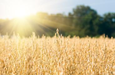 organic golden ripe ears of oats in field