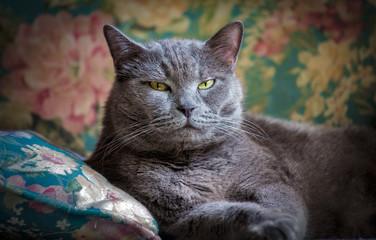 Британский домашний кот