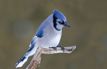 Blue jay on perched on a branch in Ottawa, Canada