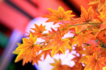 De focus or blurred maple leaf red autumn tree blurred background