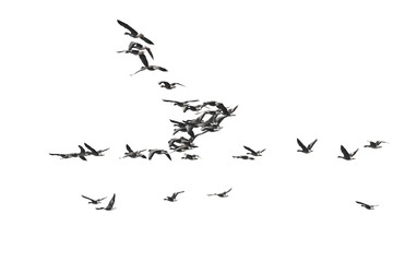 Flock of birds, White-Fronted Goose in flight, isolated on white background