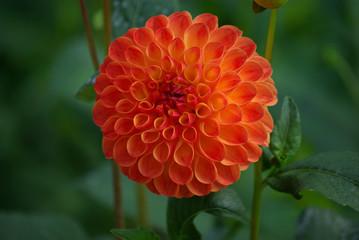 Dahlia pompon orange en été