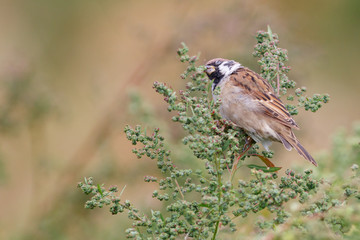 Tree Sparrow (Passer montanus) sitting on the grass.