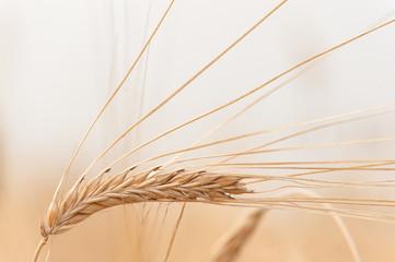Golden ear of wheat on the field
