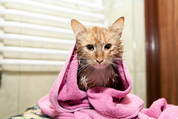 Cute wet cat after a bath. Kitten wrapped in a towel. Dissatisfied pet after a bath
