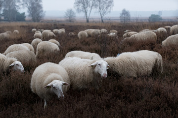 Flog of sheep in the Netherlands