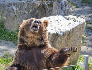 The brown bear waves a paw and growls