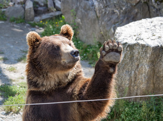 The brown bear waves a paw
