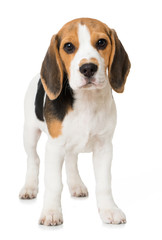 Stehender Beagle Welpe