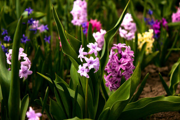 Bright and colorful hyacinths in the flowerbed in the garden in
