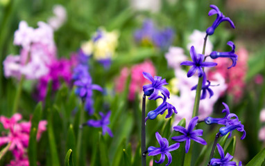 Bright and colorful hyacinth in the flowerbed in the garden in s