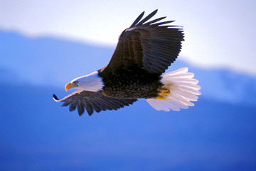 Bald Eagle soaring  Wall mural