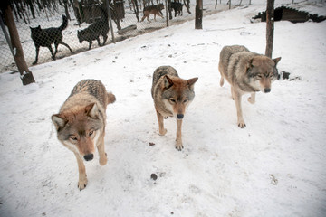 Three gray wolfs at the wolf farm