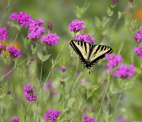 Swallowtail Butterfly Pollinating Flowers, Oregon