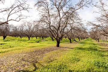 Almond Grove in the Spring 2