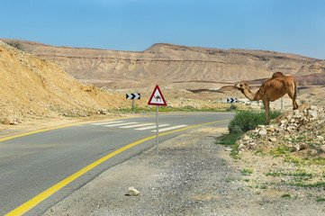 camel and the road in the Negev desert