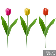 Set of tulips. Yellow, red, pink. Realistic. Plants. Isolated on white background.