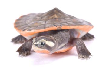 Red-bellied short neck turtle, Emydura subglobosa