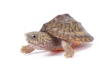 razor-backed musk turtle ,Sternotherus carinatus