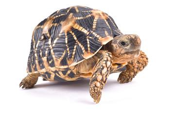 Indian star tortoise, Geochelone elegans