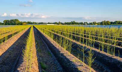 Young budding asparagus plants after the Dutch harvest season
