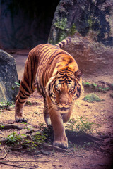 A tiger walk stealthily with slow movement.