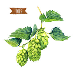 Watercolor illustration of hops vine isolated on white backgroun