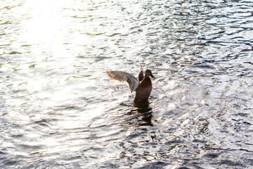 male duck start its flight