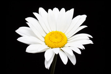 White daisy flower isolated on black, beautiful floral wallpaper